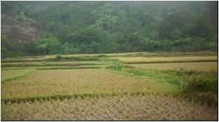 rizière2
