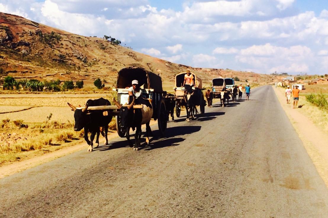 Madagascar, au royaume des charrettes àzébus