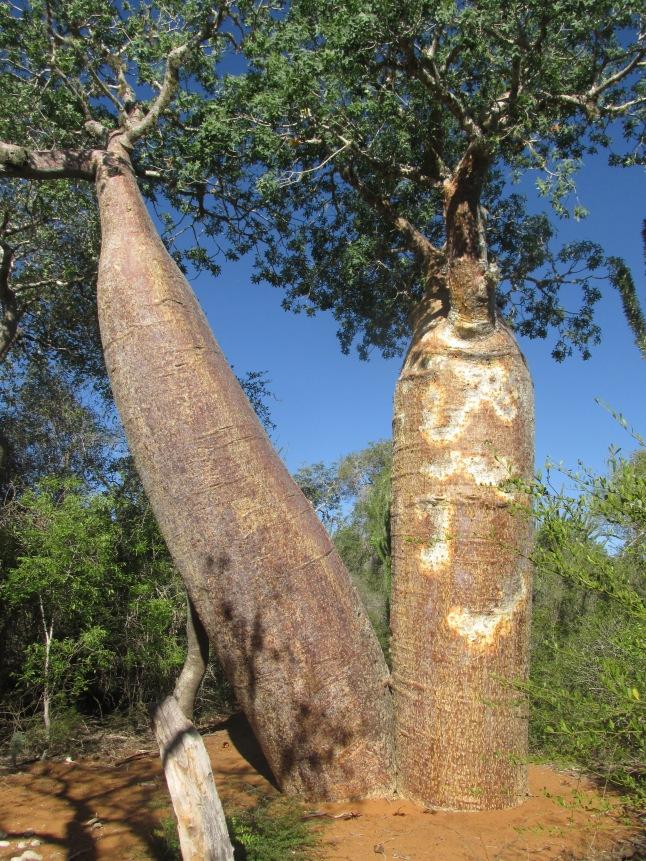 Baobabs divorcés