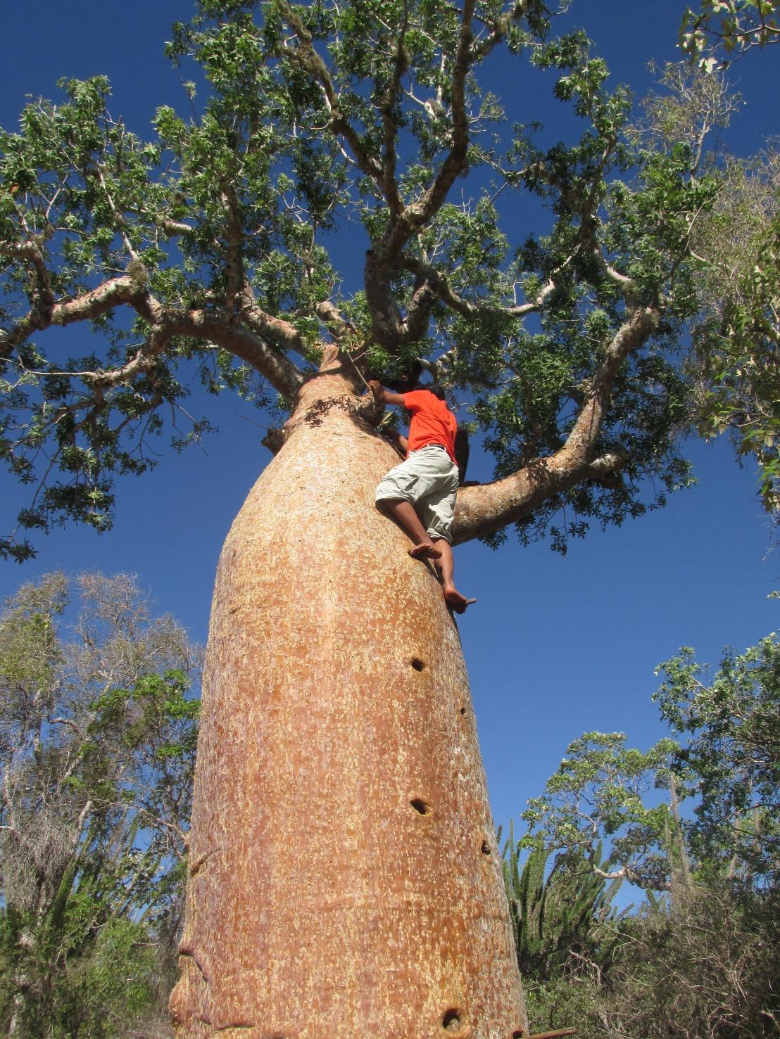 Baobab escalade