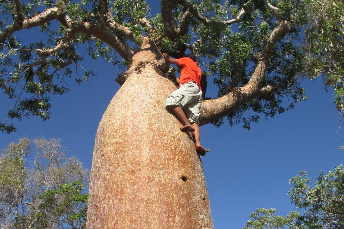 Madagascar, le baobab sous toutes sesformes