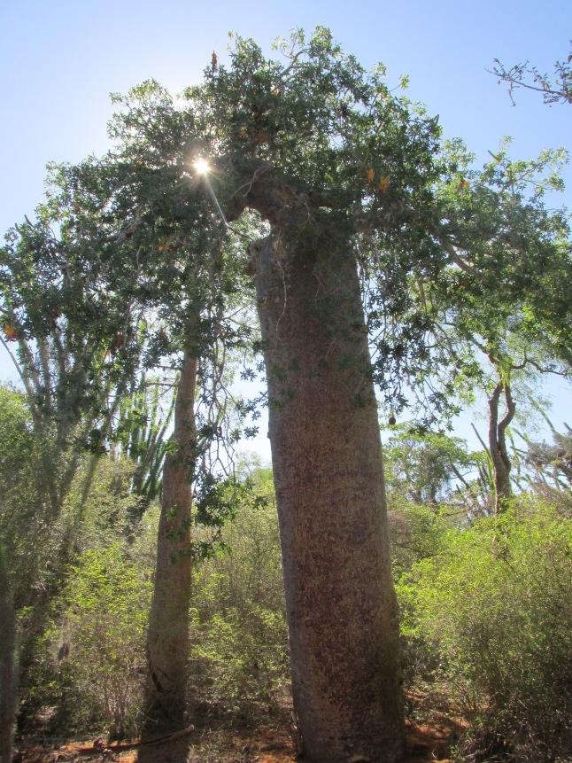 Baobab Rasta
